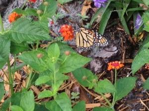 buttefly on lantana